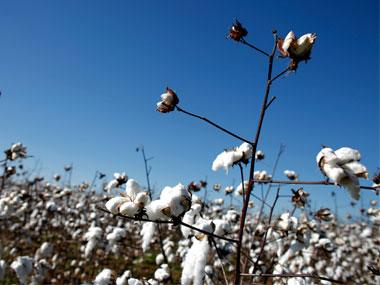 Cotton output may dip 12% to nine-year low on scanty rainfall in Gujarat, Maharashtra; exports to be cut