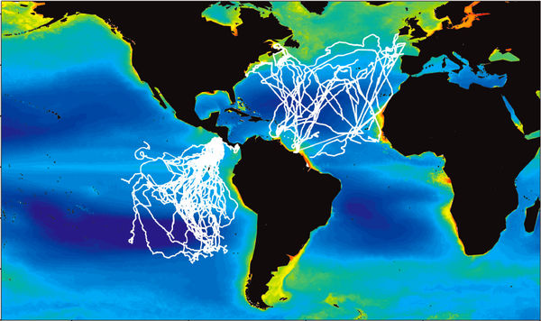 The tracks that the different populations of leatherback turtles took in the study.