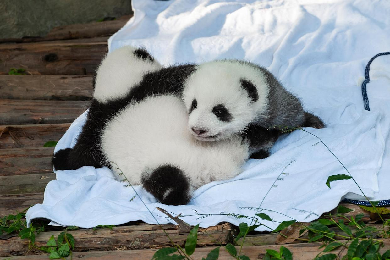 Who can resist a panda? (Getty Images)