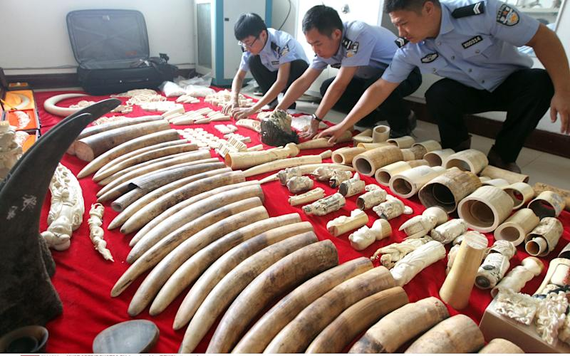 Chinese police examine seized smuggled ivory and rhino horn in 2016. - Copyright (c) 2016 Rex Features. No use without permission.