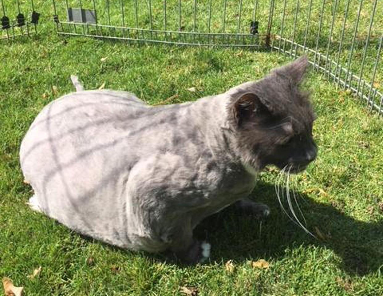 The cat after its transformation from a dreadlocked mass of fur. Source: Douglas County Animal Care & Services via Ferrari/Australscope