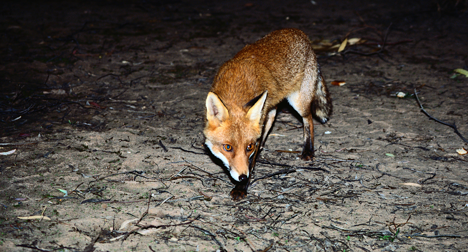 A red fox at night in Australia.