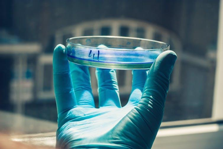 A blue-gloved hand holds a Petri dish