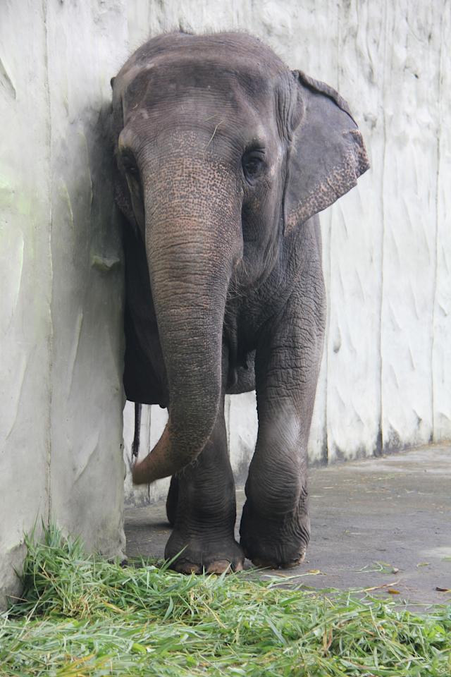Mali has lived at Manila Zoo since she was three years old (Caters)