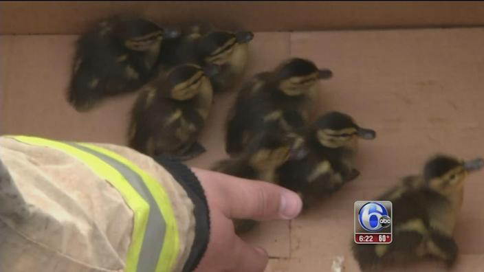 Firefighters rescue ducklings after mother killed in Delaware
