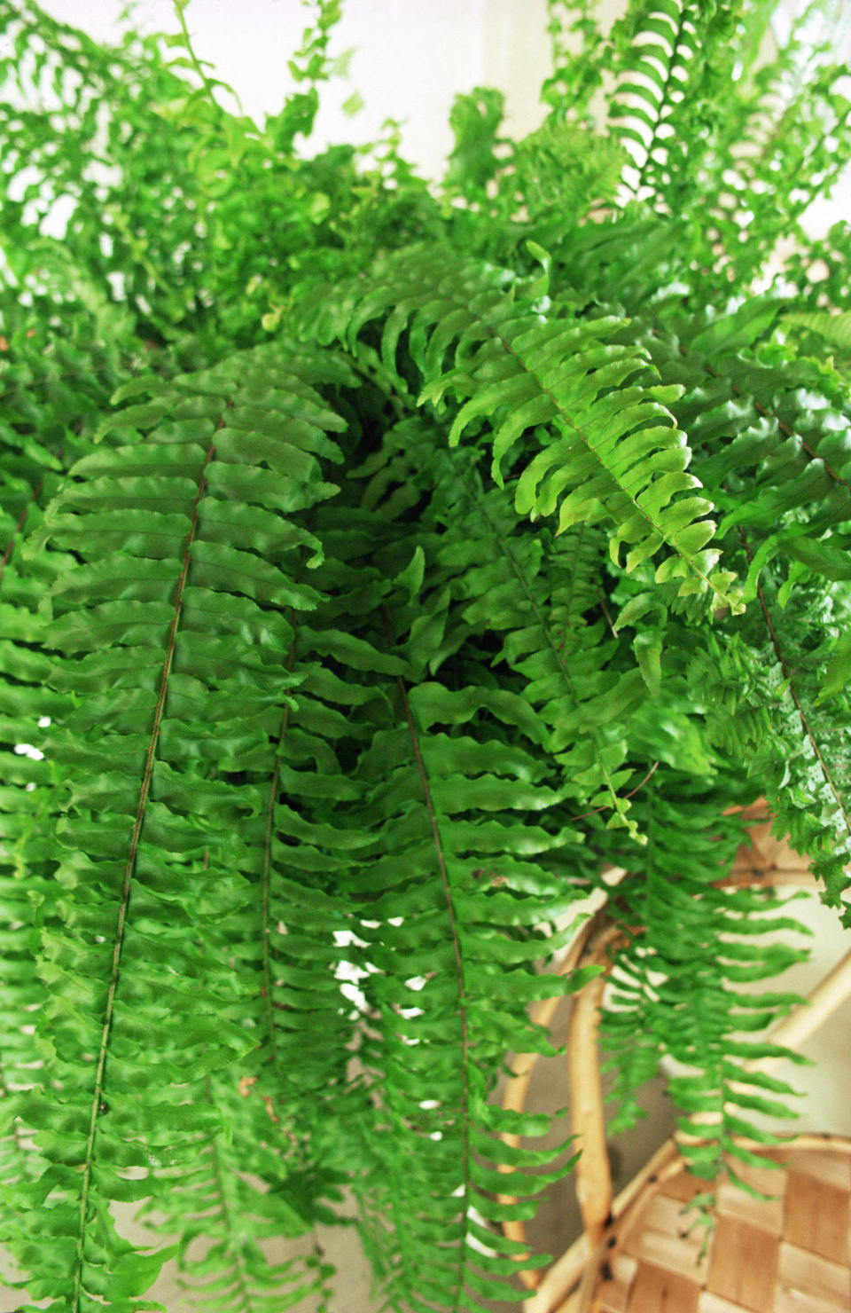 <p>NASA says that this fern is great at removing formaldehyde from the air, giving the plant ninth place in its list of 50 air-purifying plants.<br><i>[Photo: Getty]</i> </p>