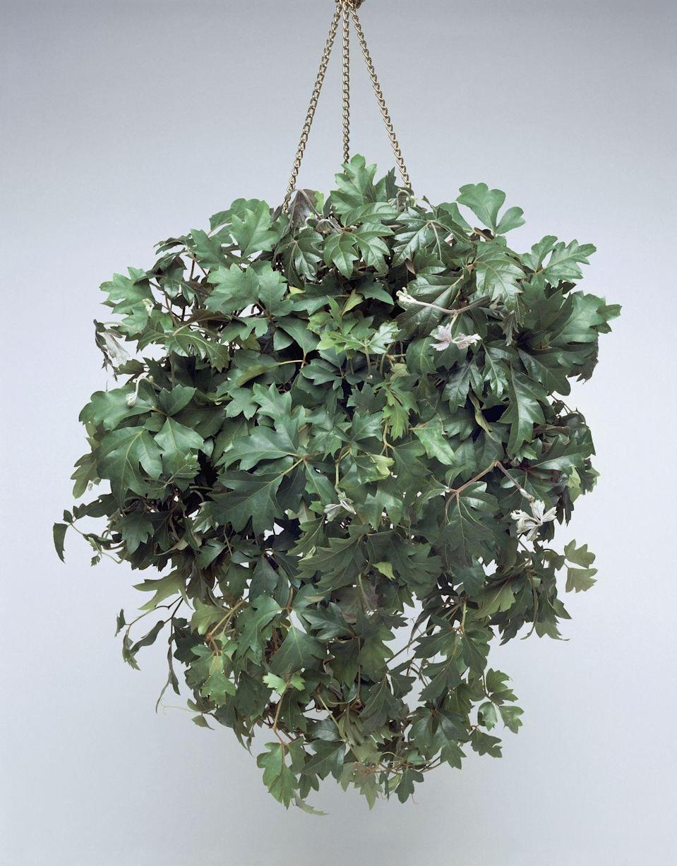 """<p>This lesser-known ivy plant has fuzzy leaves, which become shiny as they mature. It prefers moderate light, but easily adapts to low-light conditions. Keep the soil lightly moist.</p><p><a class=""""link rapid-noclick-resp"""" href=""""https://go.redirectingat.com?id=74968X1596630&url=https%3A%2F%2Fwww.etsy.com%2Flisting%2F799523929%2Fgrape-leaf-ivy&sref=https%3A%2F%2Fwww.goodhousekeeping.com%2Fhome%2Fgardening%2Fg32440507%2Fbest-indoor-hanging-plants%2F"""" rel=""""nofollow noopener"""" target=""""_blank"""" data-ylk=""""slk:SHOP GRAPE IVY"""">SHOP GRAPE IVY</a></p>"""