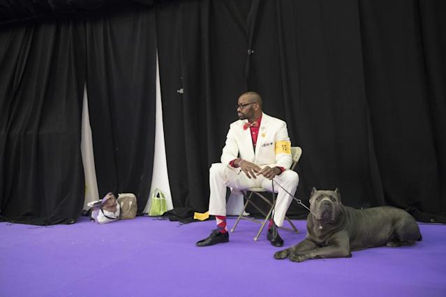 <p>Lenard Clayton and Zues, a cane corso, wait to compete in the 141st Westminster Kennel Club Dog Show, Tuesday, Feb. 14, 2017, in New York. (AP Photo/Mary Altaffer) </p>