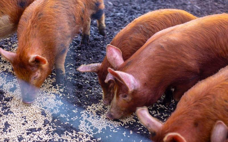 Pigs can be seen while walking on the estate's grounds. | Talia Avakian