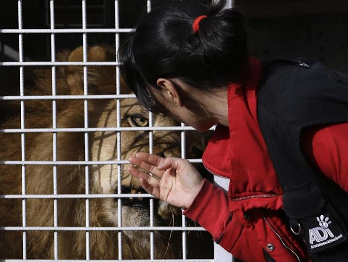 <p>A member of Animal Defenders International tries to comfort a former circus lion at Emoya Big Cat Sanctuary in Vaalwater, South Africa, May 1, 2016. <i>(Themba Hadebe/AP)</i></p>