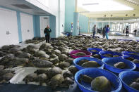 FILE - In this Feb. 16, 2021, file photo, thousands of Atlantic green sea turtles and Kemp's ridley sea turtles suffering from cold stun are laid out to recover at the South Padre Island Convention Center on South Padre Island, Texas. As many Texans hosted neighbors who had no heat or water during the vicious February storm, numerous types of wildlife are believed to have taken a beating from the cold snap. (Miguel Roberts/The Brownsville Herald via AP, File)