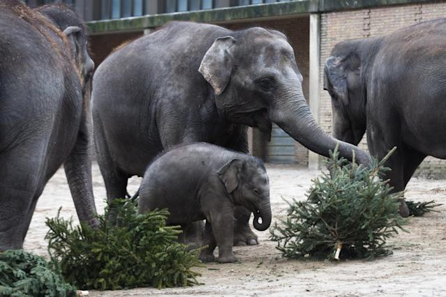 Ellephants eat christmas trees at the Berlin Zoo at the launch of the annual feeding of Christmas trees in Berlin, Friday, Jan. 4, 2013. Keeper Dr. Ragnar Kuehne told reporters that today was the first day they when the elephants and some other zoo animals are fed Christmas trees after the holiday period. The trees have not been used and were not sold, they donated by the vendors in the area. (AP Photo/Markus Schreiber)