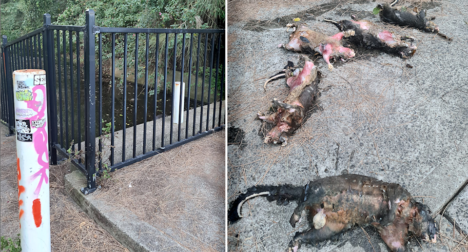 Pictured left is the fenced off waterway at Kurnell, and (right) five dead possums retrieved from the canal. Source: Supplied