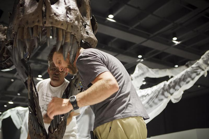 In a photo made May 15, 2012 Diretor Pete Larson of the Black Hills Institute of Geologic Research, back, and artist Tomas Schneider, right, attach a Tyrannosaurus Rex fossil head into place in the new Hall of Paleontology at the Houston Museum of Natural Science Tuesday. The $85 million wing of the museum will have the only Triceratops skin found to date and a unique T-rex fossil with complete hands.(AP Photo/Michael Stravato)