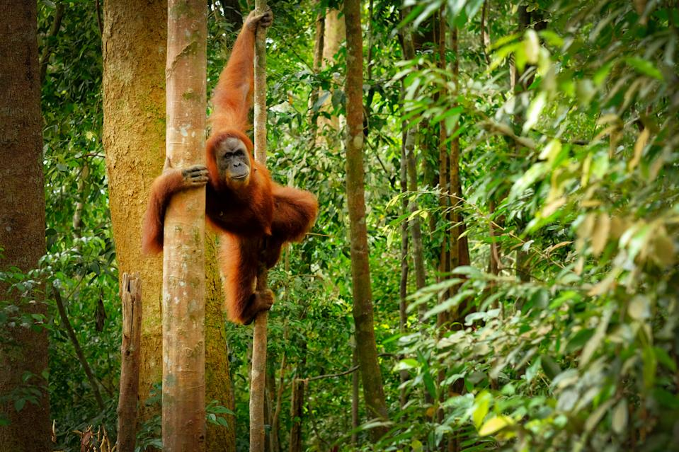 Orangutan spotted in the rainforest jumping from tree to tree