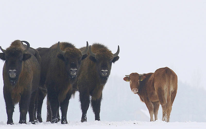 In this Jan. 20, 2018 photo, a cow stands near to a group of bison, near Wasilkowo village, 10 km from Hajnowka, Poland. A farmyard cow in Poland has chosen freedom this winter, roaming with a bison herd for three months after escaping its pen. The cow has been spotted following the bison across meadows bordering a forest in eastern Poland as they forage for food.  (Rafal Kowalczyk via AP Photo)