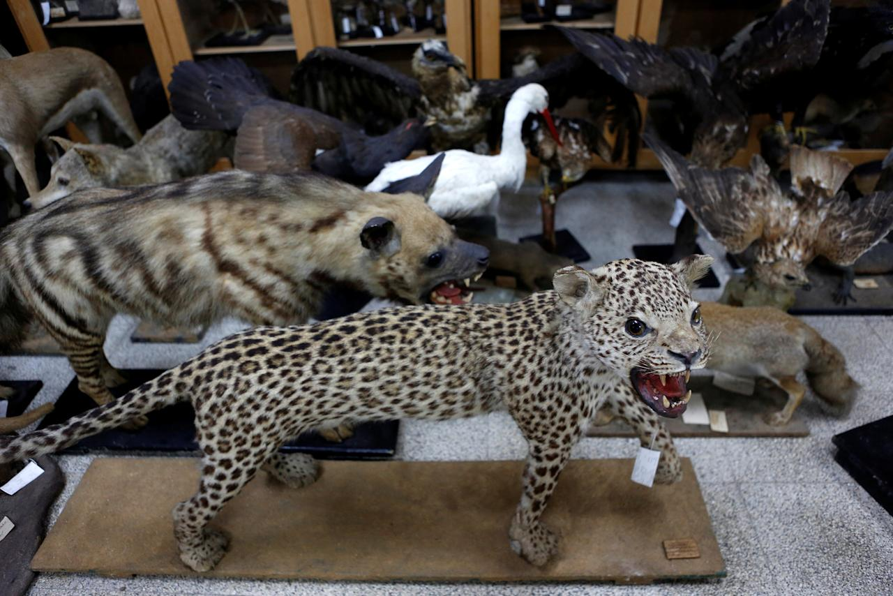 Taxidermied animals are seen at Tel Aviv University's Zoological centre and are part of the collection which will be housed at the Steinhardt Museum of Natural History, a new Israeli natural history museum set to open next year in Tel Aviv, Israel June 8, 2016. Picture taken June 8, 2016. REUTERS/Nir Elias