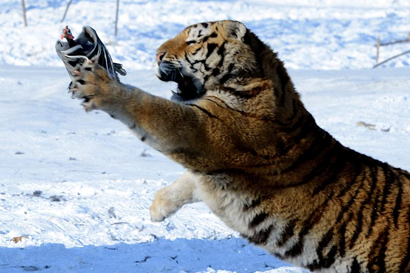 A Siberian tiger tries to catch a chicken released by a gamekeeper to entertain visitors at the Siberian Tiger Park in Harbin (AFP Photo/Goh Chai Hin)