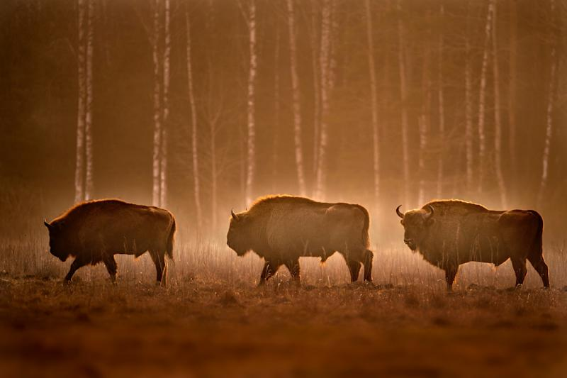 See bison as well as birds in Poland's Bialowieza Forest - getty