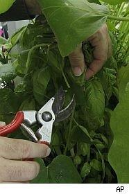 Basil crop attacked by fungus.