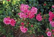 <p>If you're looking for a low-growing rose that covers a lot of ground, try this option. Flower Carpets are famous for being fuss-free, they come in nearly every color, and they bloom repeatedly until frost. <br></p>