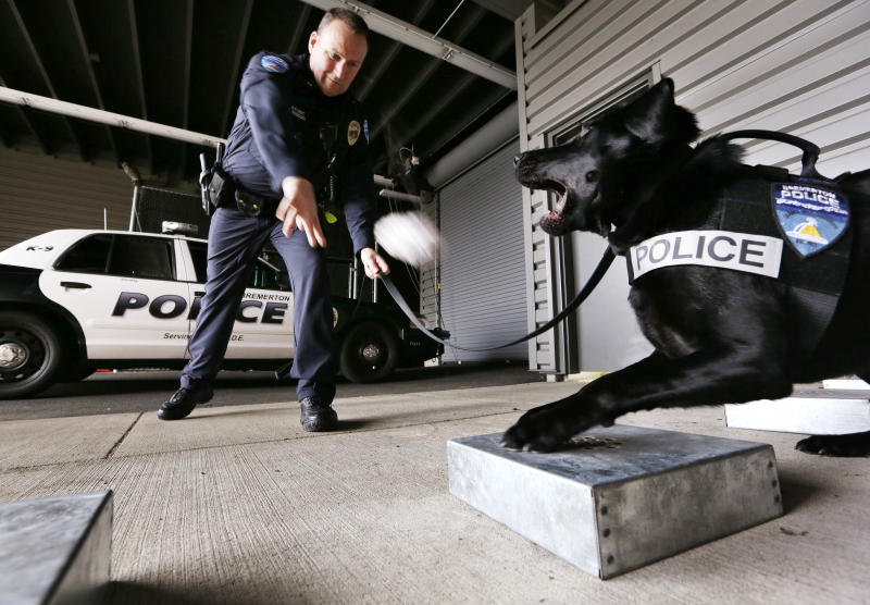 In this photo taken Thursday, May 30, 2013, drug-sniffing police dog Dusty is rewarded by handler Officer Duke Roessel with a toy after the K-9 successfully located a stash of heroin during a training session at the police station in Bremerton, Wash. The newest drug-sniffing dog on the police force in Bremerton, near Seattle, is one of a few police dogs in Washington state that are not trained to point out pot during searches. Other police departments are considering or in the midst of re-training their dogs to ignore pot as well, part of the new reality in a state where voters last fall legalized marijuana use. (AP Photo/Elaine Thompson)