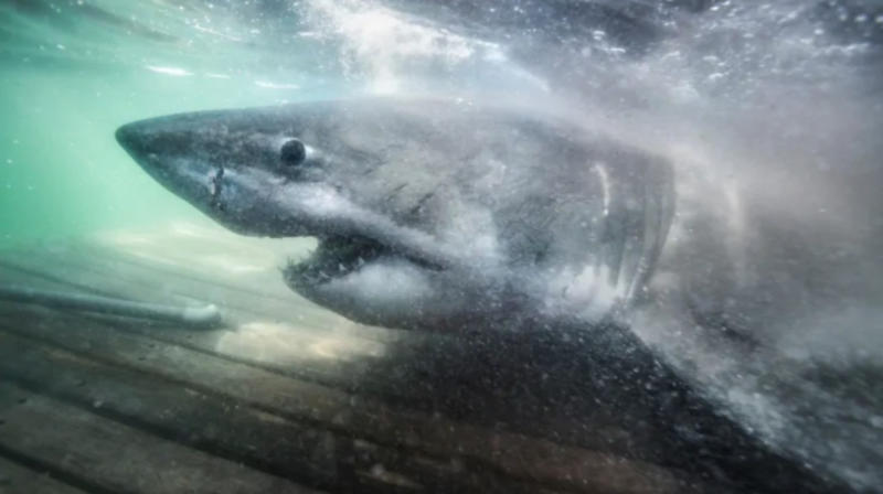 Huge 'queen of the ocean' great white shark tagged offshore of Nova Scotia