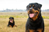 "<p>Loyal, brave, and strong, the <a href=""https://www.dailypaws.com/dogs-puppies/dog-breeds/rottweiler"" rel=""nofollow noopener"" target=""_blank"" data-ylk=""slk:Rottweiler"" class=""link rapid-noclick-resp"">Rottweiler</a> originated in Germany where these dogs drove farmer's cattle and pulled butcher's carts. A natural guardian, this breed excels working for the military, police, and customs, but also makes for a very loyal family member.</p>"