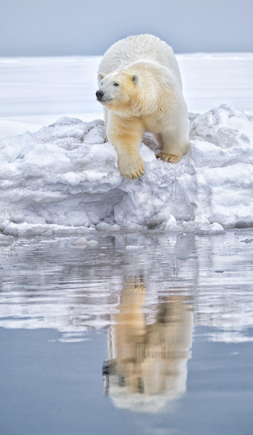 <p>A polar bear in Kaktovik, a part of northern Alaska.</p>