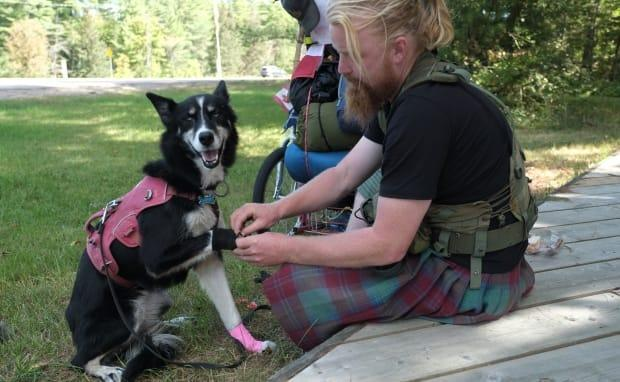 Every morning Michael Yellowlees puts booties on Luna's front paws to protect her from the long walk ahead. The pair average around 40 to 50 kilometres a day.   (Nick Purdon/CBC - image credit)