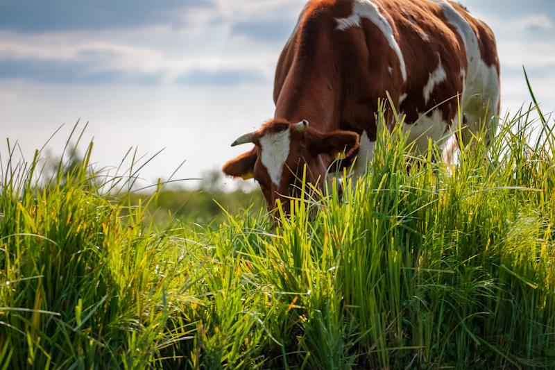 Grazing cattle in pasture along the waterfront in a dutch polder landscape