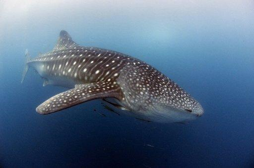 "Whale sharks, the world's largest fish, are classified as ""vulnerable"""