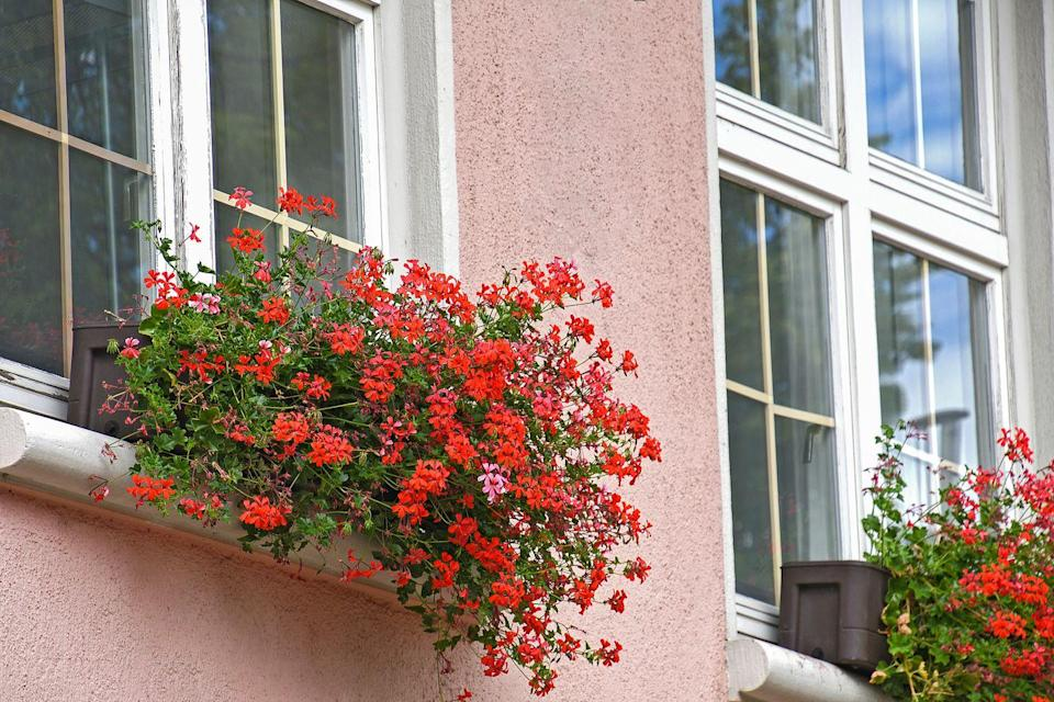 <p>This plant is great for hot and sunny areas. The low-maintenance blooms have gained popularity in European window boxes for their ability to repel flies in the summer. </p><p><strong>Zones: 9-11</strong></p>