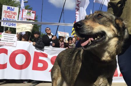 A dog is seen during a rally to protest against the old five-storey apartment blocks demolition and urban re-settlement project, launched by the city authorities, in Moscow, Russia, May 28, 2017. REUTERS/Nikolai Isayev