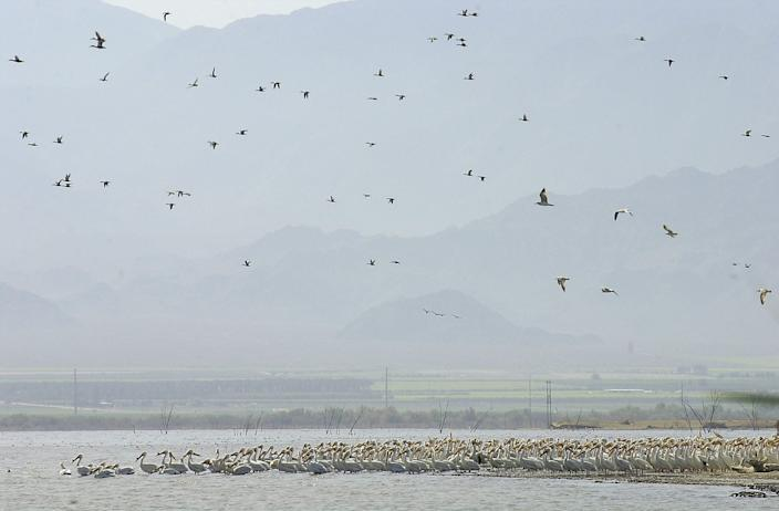 Thousands of birds stop at the Salton Sea as part of their migration on the Pacific Flyway in 2002.  Fewer birds have been seen there in recent years as the sea shrinks and salinity levels rise.