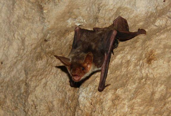 Bats Use Polarized Light As a Nighttime Compass