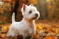 """<p>Fondly referred to as the Westie, the <a href=""""https://www.dailypaws.com/dogs-puppies/dog-breeds/west-highland-white-terrier"""" rel=""""nofollow noopener"""" target=""""_blank"""" data-ylk=""""slk:West Highland White Terrier"""" class=""""link rapid-noclick-resp"""">West Highland White Terrier</a> is another ratter breed with Scottish ancestry. While they are apartment-friendly dogs, they also enjoy a leisurely hike. The Westie's distinctive white coat-which is rather rough to the touch-sets them apart from their terrier relatives.</p>"""