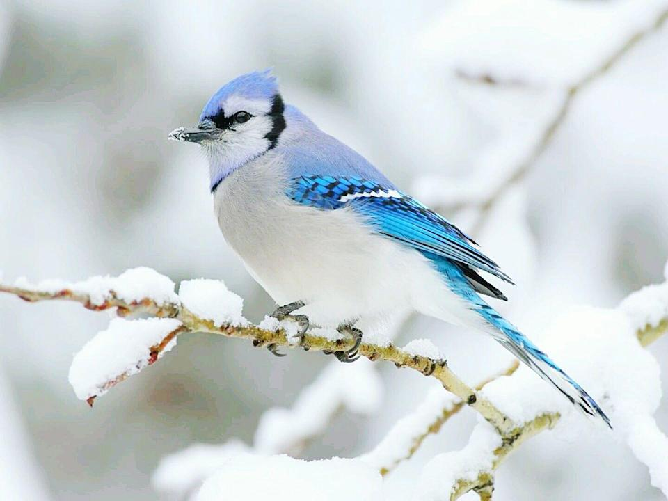 <p>Some birds fly south for the winter, some birds hang around in any climate. Blue jays are often seen in the snow, and their bright feathers look even more striking against a white background. </p>