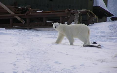 A polar bear roams through Amderma - Credit: Vladimir Schadrin