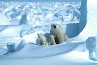 Arctic species like polar bears are expected to be among the first affected