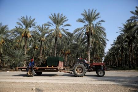 Workers ride a tractor at the dates plantations near the the Israeli settlement of Naama in the occupied West Bank