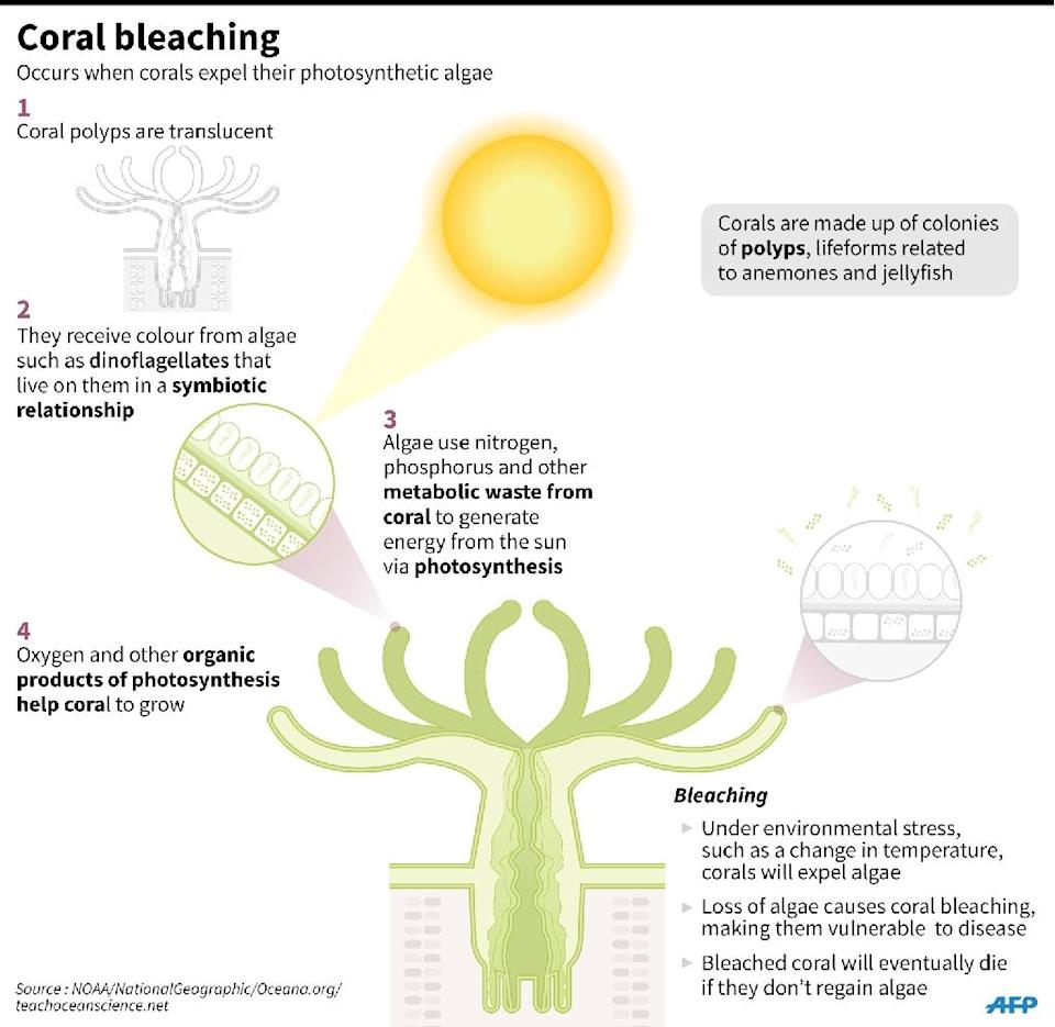 Factfile on coral bleaching (AFP Photo/)