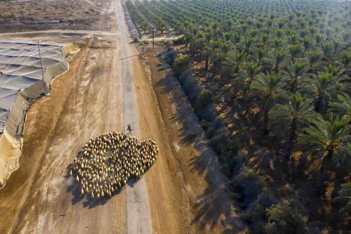 A Palestinian shepherd herds his flock next to the West Bank Jewish Settlement of Tomer in the Jordan Valley, Tuesday, June 30, 2020. Israeli Prime Minister Benjamin Netanyahu appears determined to carry out his pledge to begin annexing parts of the occupied West Bank, possibly as soon as Wednesday. (AP Photo/Oded Balilty)