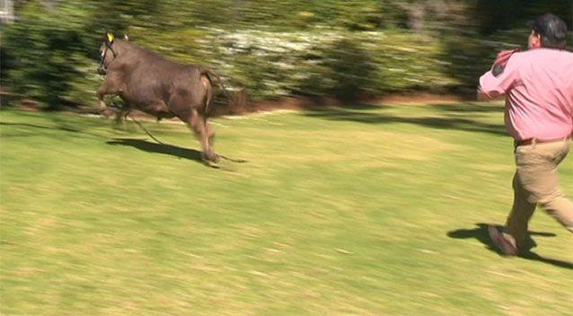 Winston's handler said the steer hadn't been in public for a while. Source: 7 News