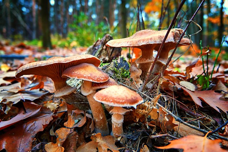 Mushrooms between leaves in the autumn forest.
