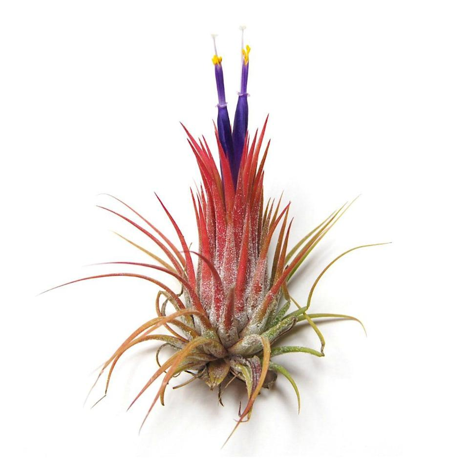 "<p><a class=""body-btn-link"" href=""https://www.amazon.com/Wholesale-Air-Plants-Tillandsia-Beautiful/dp/B00LKLPHPQ?tag=syn-yahoo-20&ascsubtag=%5Bartid%7C10052.g.3284%5Bsrc%7Cyahoo-us"" target=""_blank"">Shop Now</a></p><p><em>$18, Amazon</em></p><p>Air plants—also known as Tillansia—sustain themselves on moisture from the air, and require no soil (yes, no soil) to grow. With a ""minimal root system"" and over 500 species to choose from, there are a wonderful variety of visually interesting options, which can be displayed in stylish air plant holders, like <a href=""https://www.elledecor.com/design-decorate/room-ideas/g26873290/best-air-plants/"" target=""_blank"">these</a>. </p>"