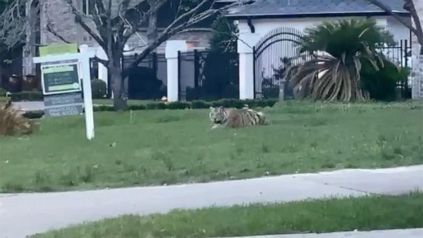 PHOTO: A Bengal tiger was seen out in a West Houston neighborhood in the evening of May 9, 2021. (Maria Torres)