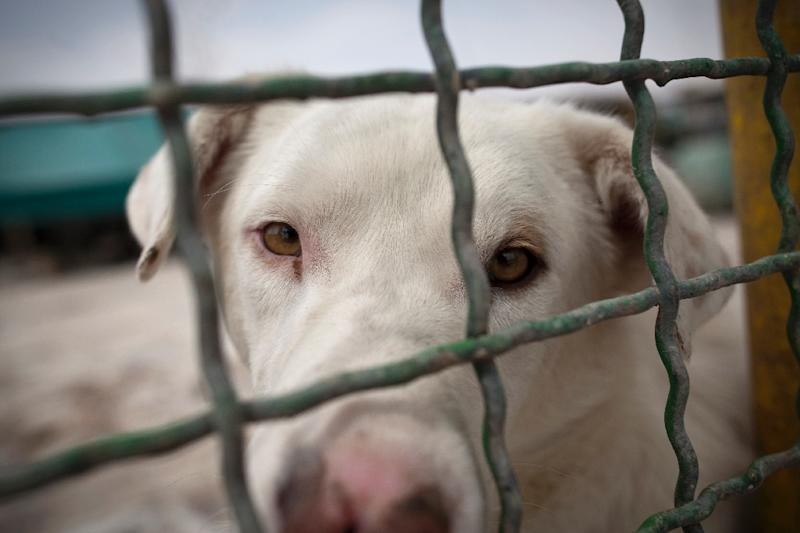 A stray dog stares from behind the fence at the Vafa animal shelter in the town of Hashtgerd, some 70 kms west of Iran's capital Tehran, on June 30, 2011 (AFP Photo/Behrouz Mehri)