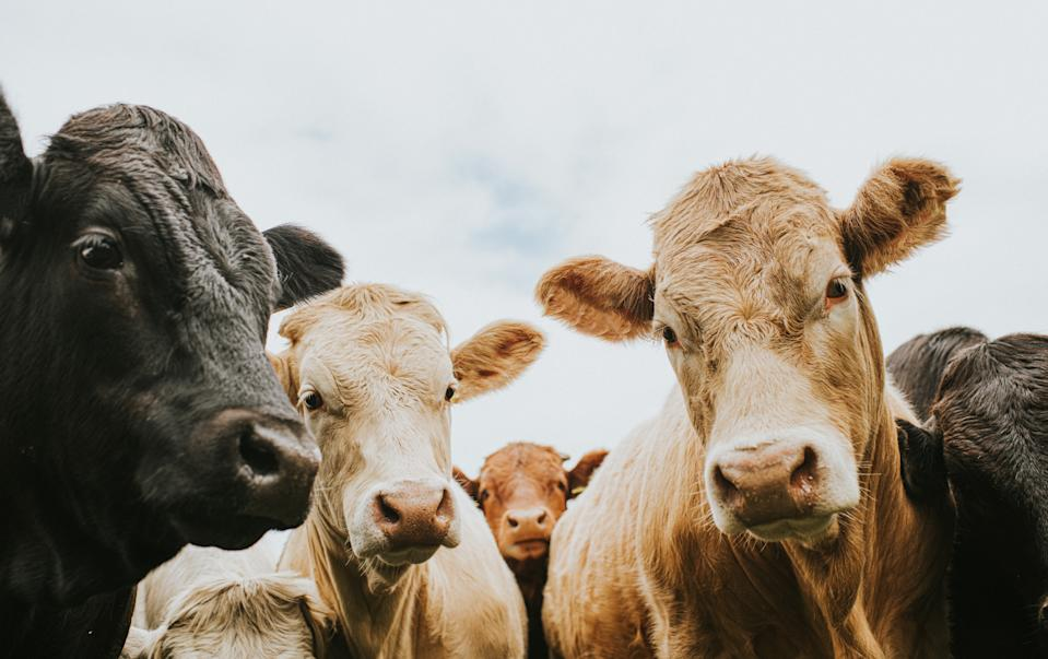 Herd of bullocks standing outside, looking at the camera from a low viewpoint. Sky provides space for copy.