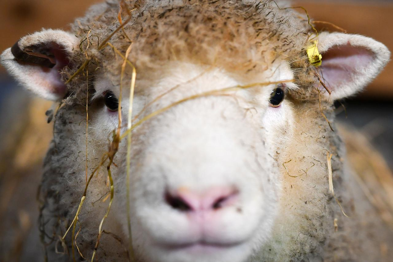 <p>A new mum in her pen as she looks after her two newborn lambs at The Olde House, Chapel Amble, Cornwall, where lambing season is a few weeks earlier than the rest of the country due to much milder Cornish weather. (PA) </p>